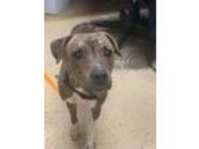 Adopt parakeet a Pit Bull Terrier, American Staffordshire Terrier