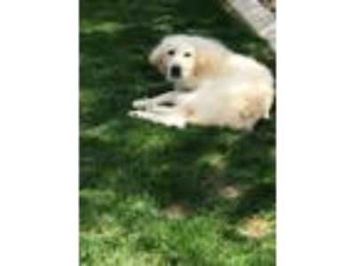 Adopt Chloe a Great Pyrenees