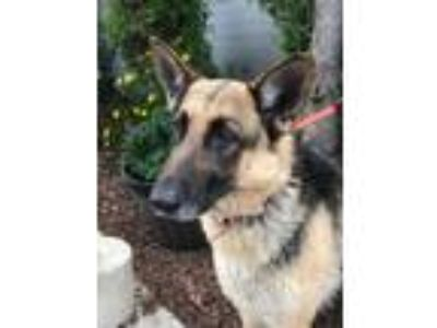 Adopt Antoinette a Black - with Tan, Yellow or Fawn German Shepherd Dog / Mixed