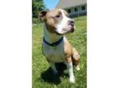 Adopt Apollo a Tan/Yellow/Fawn American Pit Bull Terrier / Mixed dog in Hudson