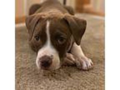 Adopt Atlas a Brown/Chocolate - with White German Shorthaired Pointer / Labrador
