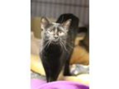 Adopt Tuesday a All Black Domestic Shorthair (short coat) cat in Yukon