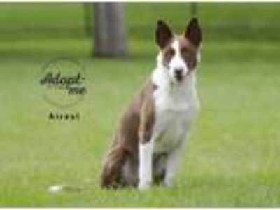 Adopt Ariel a Red/Golden/Orange/Chestnut - with White Border Collie / Mixed dog
