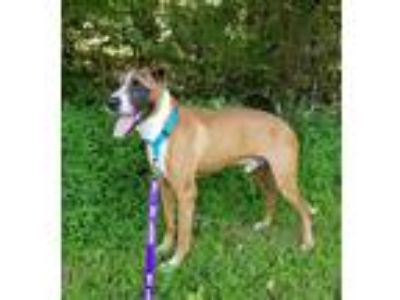 Adopt Saint a Brindle - with White Boxer / Mixed dog in Thomasville