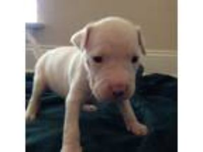 Adopt Aiko a White Staffordshire Bull Terrier / Mixed dog in Dallas