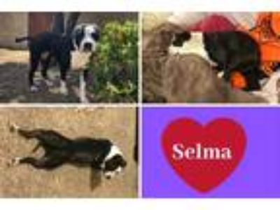 Adopt SELMA a Black - with White American Pit Bull Terrier / Mixed dog in
