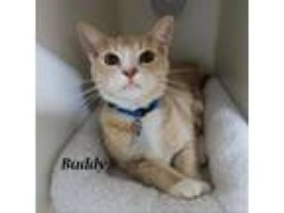 Adopt Buddy a Tan or Fawn Tabby Domestic Shorthair cat in Madisonville