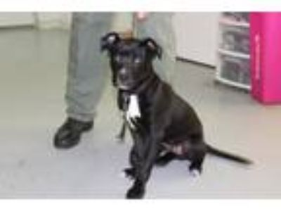 Adopt Larry a Black Labrador Retriever dog in Olive Branch, MS (25065005)