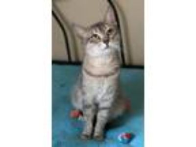 Adopt NYSSA - LOOKING FOR A NEW BEGINNING a Domestic Short Hair
