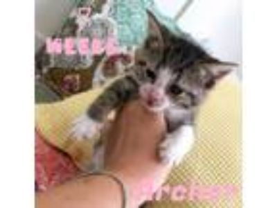 Adopt Archer a American Shorthair, Domestic Short Hair