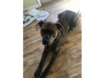 Adopt Riddick a Brindle American Pit Bull Terrier / Mixed dog in Speedway