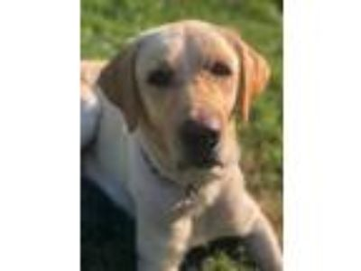Adopt Callie a Labrador Retriever