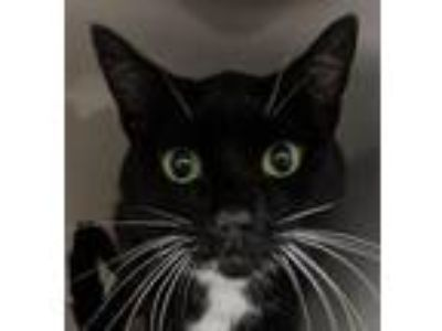 Adopt Aubray a Domestic Short Hair