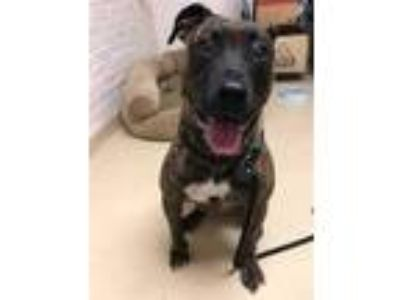 Adopt SADIE a Brindle American Pit Bull Terrier / Mixed dog in Waterford