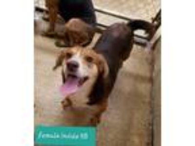 Adopt Brieley a Tricolor (Tan/Brown & Black & White) Beagle / Hound (Unknown