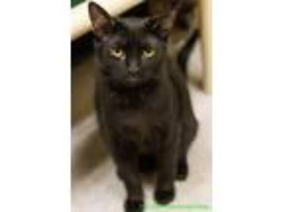 Adopt Charlie a All Black Domestic Shorthair (short coat) cat in Fresno