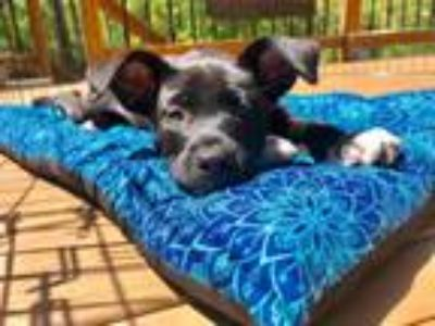 Adopt Brookie a Black Terrier (Unknown Type, Medium) / Mixed dog in Alpharetta
