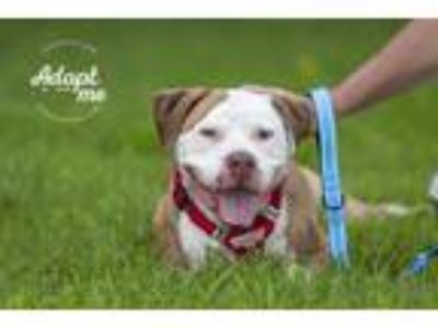 Adopt Matrix a American Staffordshire Terrier, Mixed Breed