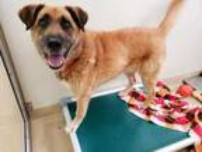 Adopt GRIM a Brown/Chocolate - with Black German Shepherd Dog / Mixed dog in