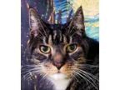 Adopt Sonny a Brown or Chocolate Domestic Shorthair / Domestic Shorthair / Mixed