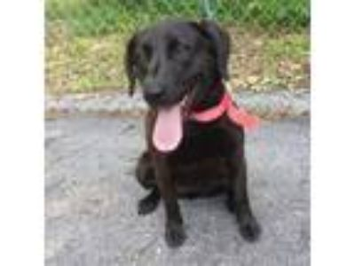 Adopt Panther a Brown/Chocolate Labrador Retriever dog in Pendleton