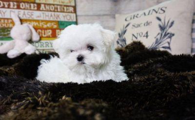 1. Maltese Puppy – Male - Danny ($3,000)