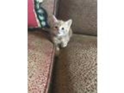 Adopt Gracie a Orange or Red Domestic Shorthair / Domestic Shorthair / Mixed cat