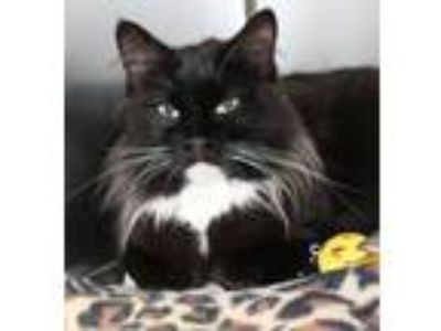 Adopt Etta a All Black Domestic Mediumhair / Mixed cat in Wichita, KS (25298106)