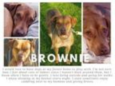 Adopt BROWNIE a Pit Bull Terrier, Mixed Breed