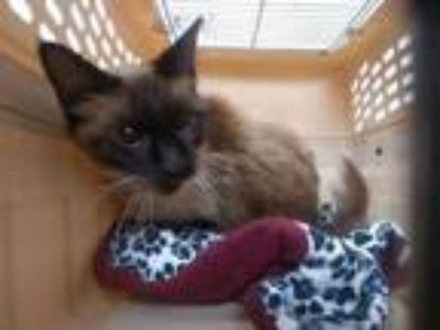 Adopt CELENE a Siamese, Domestic Short Hair