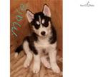 AKC registered siberian husky male puppy