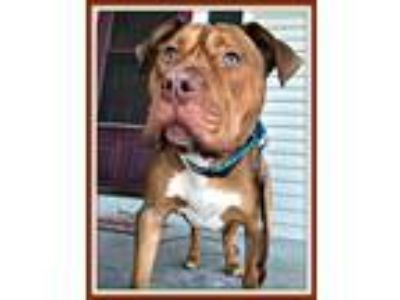 Adopt Nucky ~FOSTER NEEDED~ a Pit Bull Terrier