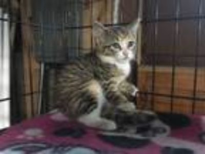 Adopt Sydney a Domestic Short Hair