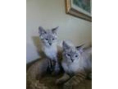 Adopt May and June a American Shorthair, Siamese