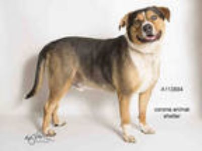 Adopt JACK JACK a Tricolor (Tan/Brown & Black & White) Rottweiler / Beagle /