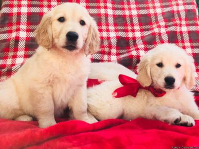 Ethical Golden retriever puppies