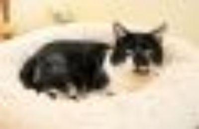 Blaine Tuxedo - Domestic Short Hair Cat