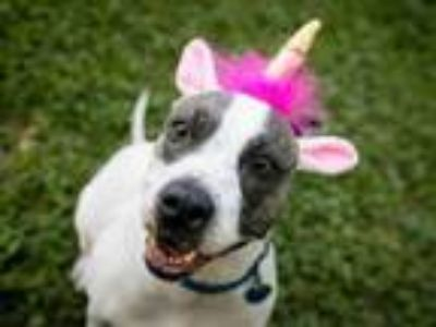 Adopt PATCHES a Pit Bull Terrier, Mixed Breed