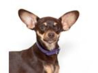 Adopt Colombia a Miniature Pinscher / Mixed dog in San Luis Obispo