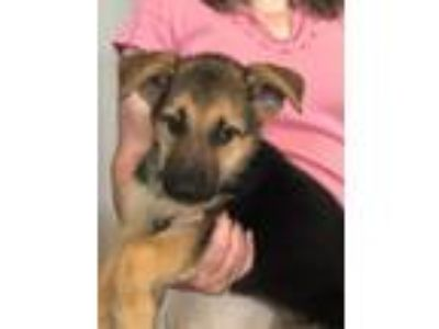 Adopt ANDREA sb a German Shepherd Dog, Labrador Retriever