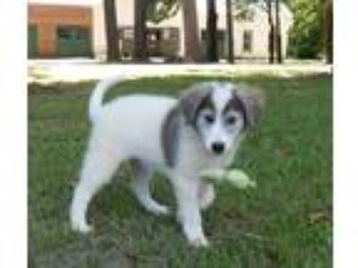Adopt Salem a White - with Gray or Silver Border Collie / Great Pyrenees / Mixed