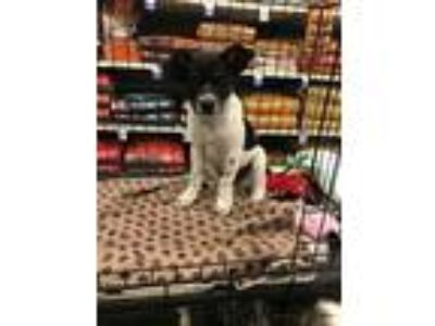 Adopt Frank a Rat Terrier, Cattle Dog