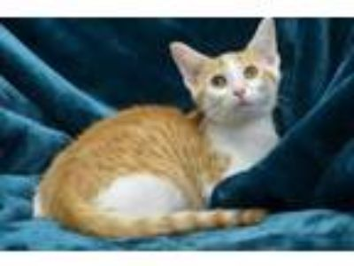 Adopt Apollo 14208 a Domestic Short Hair