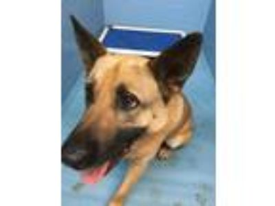 Adopt Yeti a German Shepherd Dog / Belgian Malinois / Mixed dog in Mocksville