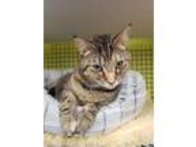 Adopt Picatsso a American Shorthair