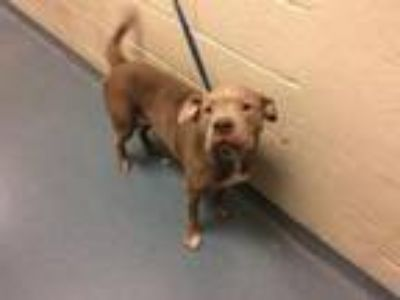 Adopt POPO a Pit Bull Terrier