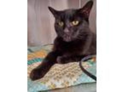 Adopt Cookie a All Black Domestic Shorthair / Mixed cat in Cottonwood