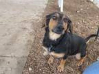 Adopt Joy a Black - with Tan, Yellow or Fawn Black and Tan Coonhound / Mixed dog