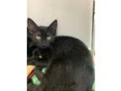 Adopt Bennett a All Black Domestic Shorthair / Domestic Shorthair / Mixed cat in