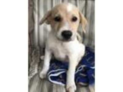 Adopt Jovi (Fostered in TN) a White - with Tan, Yellow or Fawn English Shepherd